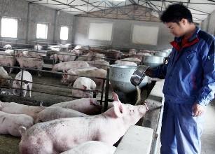 如何鉴别与管理病弱猪?减少养猪场损失!